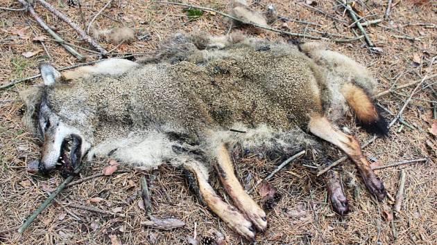 Z hlubokých lesů u obce Brenná na Českolipsku přišla 6. října smutná zpráva. Náhodný houbař na místě našel tělo uhynulého vlka.