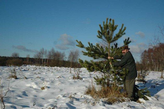 Lesník olamuje větvičky z osamocené borovičky