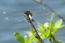 Přírodovědci zaznamenali u Hradčanského rybníka malinkou populaci pěti jedinců vážky široké.