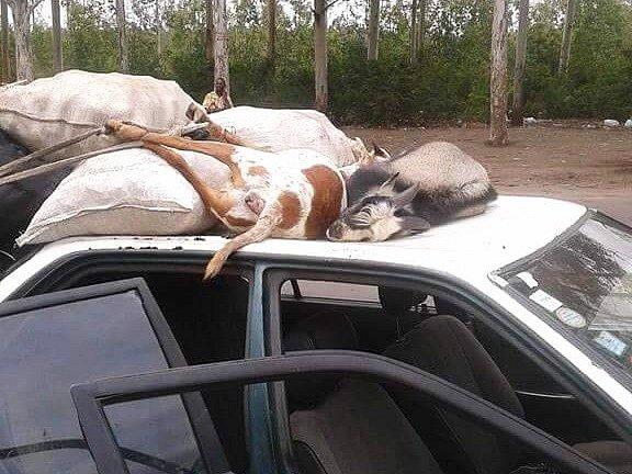 Zachráněná zvířata, která se dvouleté feně belgického ovčáka podařilo minulý týden vyčmuchat na hranicích Brazaville vKintele.