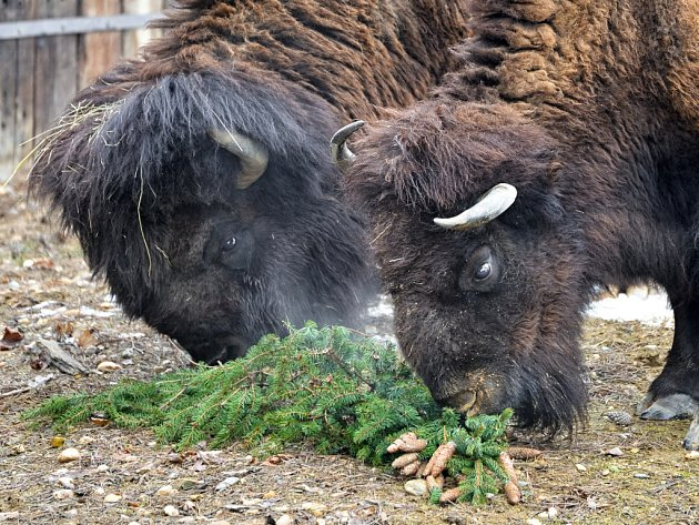 Zvířata z pražské zoo dostala v neděli k obědu větve z vánočního stromu z České Lípy, který byl během adventu umístěn v hlavním městě na Staroměstském náměstí.