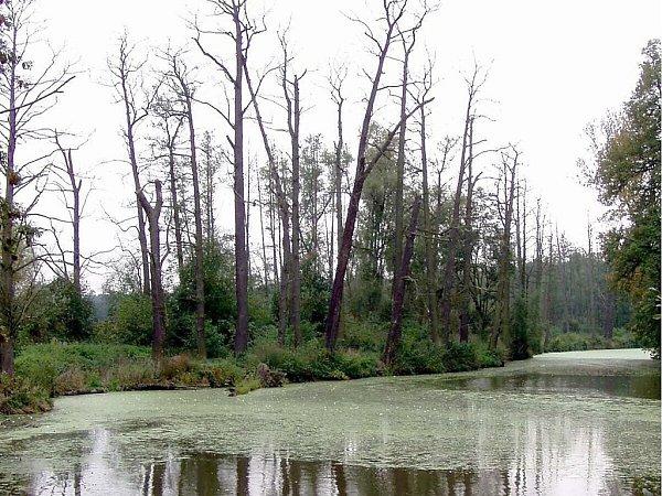 Uschlé olše na břehu řeky, napadené houbovitým parazitem phytophtora alni.