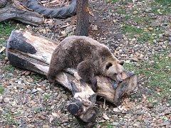 """""""Někdy si sedne a rozvalí se v pneumatice, různě se drbe a prostě odpočívá,"""" říká o medvědovi Medouškovi kastelán zámku v Zákupech Petr Weiss."""