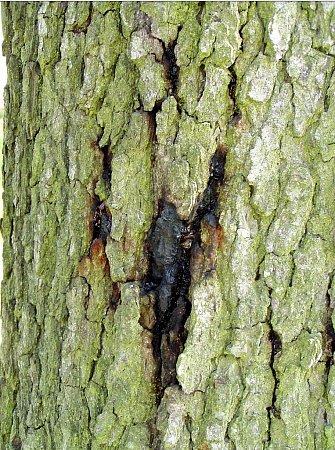 Charakteristická barva čerstvých znaků napadení parazitem na kůře stromu. Podle tohoto znaku se chorobě říká krvácivá rakovina.