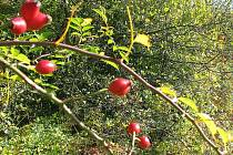 Bývalý ovocný sad Základní školy 711 dnes patří soukromému majiteli. Jablka a hrušky tak zbytečně shnijí, protože je nikdo nesklízí. Neudržovaná zahrada pomalu pohlcují šípky a hloh.