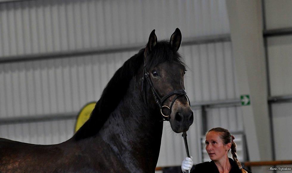 Dny španělských koní ve Dvoře Nové Zámky se konaly 12. června.