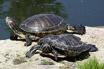 Čtyři želvy nádherné žijí ve vyškovském zooparku oficiálně. Spousta dalších, které zde nechávají nekontrolovaně lidé, tu však umírá.