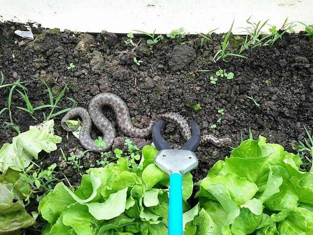 Had ve skleníku vystrašil obyvatele Ježkovic.