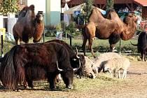 Vyškovský zoopark se pyšní domácími jaky už desetiletí. Ve Vyškově se jim výborně daří, dokonce se tam bez problémů rozmnožují. Ve výběhu jsou s dalšími asijskými zvířaty, jako jsou velbloudi a brav.