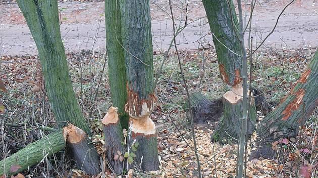 Přestože je plaché bobry nesnadné zahlédnout, přehryzané stromy jasně vypovídají o jejich existenci u pavlovického rybníka.