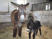 Mláďata osla poitouského chytila po narození infekci. Nyní dobírají antibiotika, a daří se jim lé
