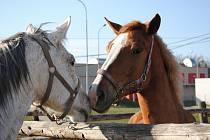 PIAFA má ve stájích dvanáct koní. Devět jich využívá na terapie a tři pro jezdecký sport, kde pomáhají získávat sponzory.