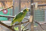 V papouščí zoologické zahradě v Bošovicích na Vyškovsku mají kolem padesáti amazoňanů.