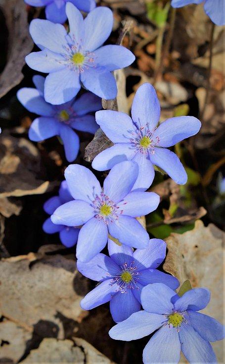 Vycházka na zaniklý hrad Melice je lemovaná kvetoucími posly jara.