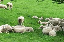 Ovce a pastevectví neodmyslitelně patří k ekofarmě Jalový dvůr u Heršpic. Ilustrační fotografie.