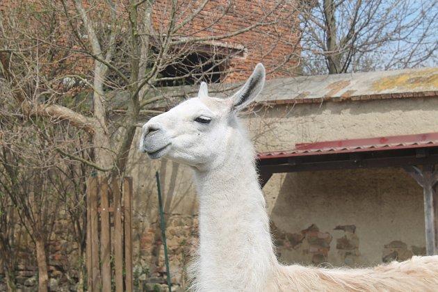 Mnozí obyvatelé zoo návštěvníky se zájmem pozorují.