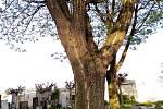 Korkovník se nachází na vyškovském hřbitově.