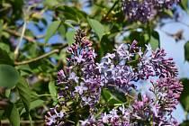 Rozkvetlé jaro v Letonicích probudilo hmyz, a ten se má čile k světu.