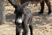 Nejnovějším přírůstkem Zoo parku ve Vyškově je měsíc stará oslice Stela. Mládě poitouského se narodilo 14. března. Koncem týdne se poprvé proběhlo venku.