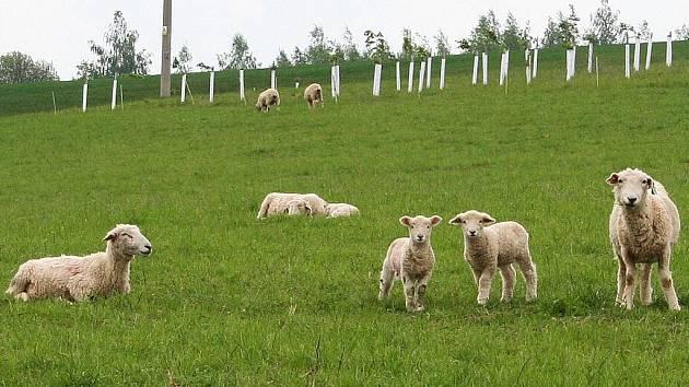 Občanské sdružení Manner už pase svoje ovce na loukách u Manerova.