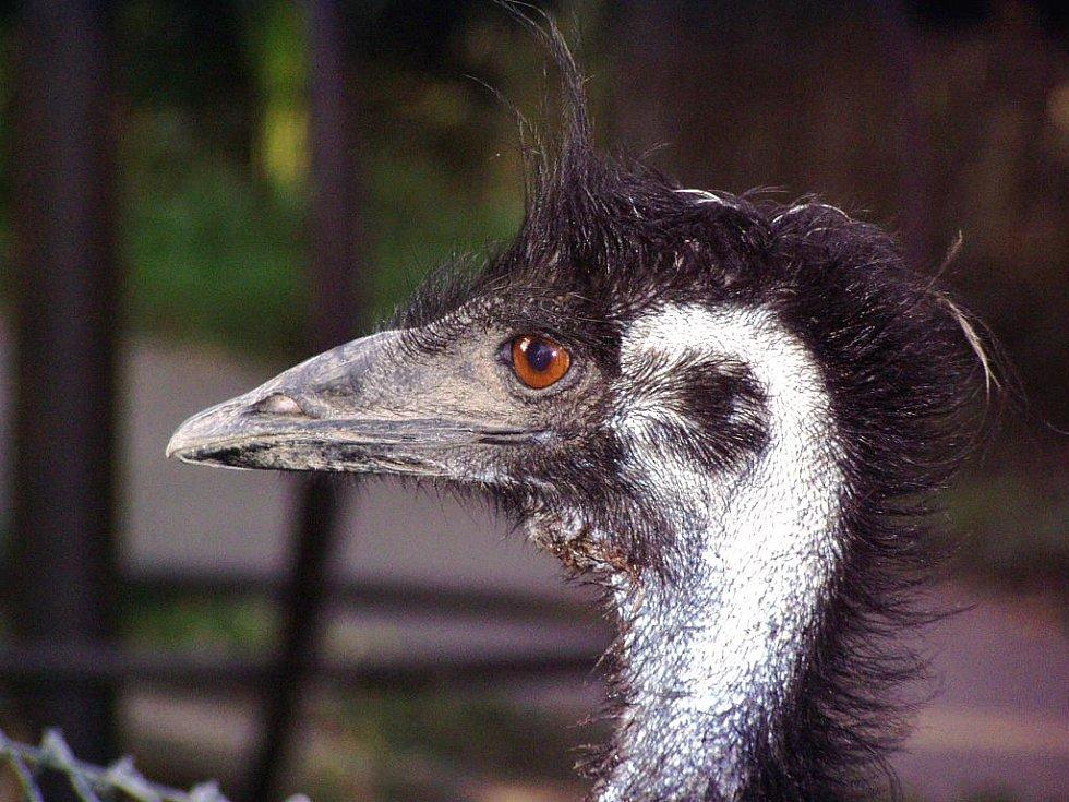 Nandu má podobně jako jeho blízký příbuzný pštros a emu vynikající zrak, který mu pomáhá spatřit nebezpečí na velkou vzdálenost.