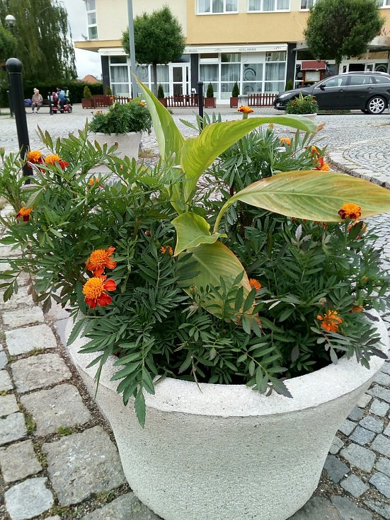 Mobilní květináče využívají už deset let například v Bučovicích na náměstí Svobody.