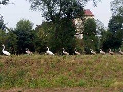 Desetičlenná rodinka labutí způsobila na chvíli ve Slavkově kuriózní zácpu.