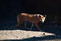Psi dingo ve vyškovském zooparku.