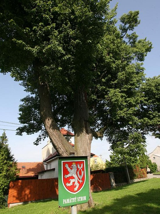 Památný strom obce Krásensko. Ilustrační fotografie.