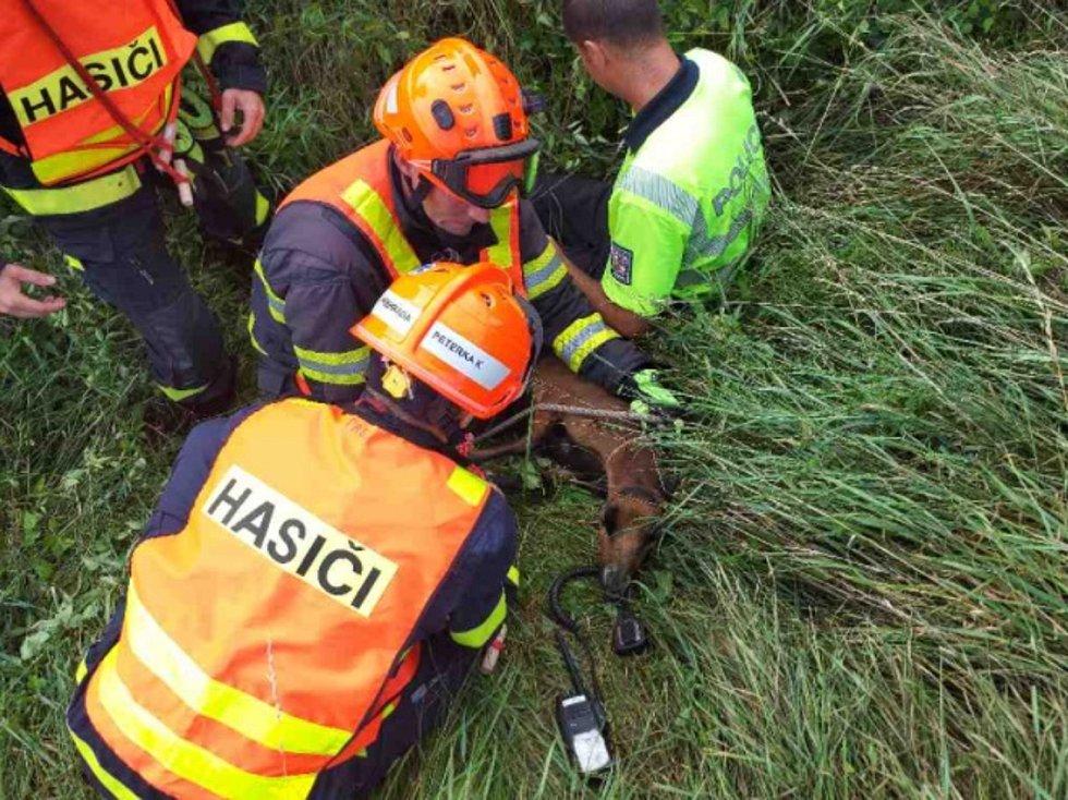 Dvě ovce kamerunské museli u dálnice D46 u Vyškova odchytit hasiči. Se souhlasem HZS JmK