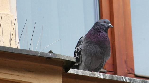 Už je to několik let, co vyškovská radnice přestala odchytávat holuby. Jejich množství je však opět obrovské. Na jejich hnízdiště, kterým je kostel, tak umístila klece. V nich odchytila přilibně stovku těchto ptáků.