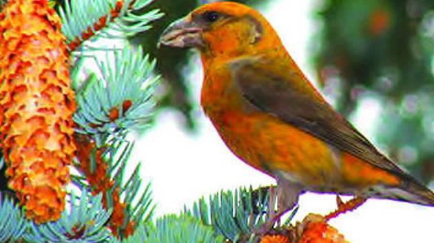 Pestrým zbarvením a zobanem připomínají křivky papoušky. Nyní jsou k vidění i na Vyškovsku.