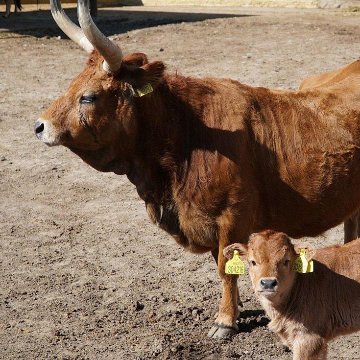 Nejmladším přírůstkem je kravička skotu cachena, která se narodila 9. března a už si užívá sluníčka ve výběhu.