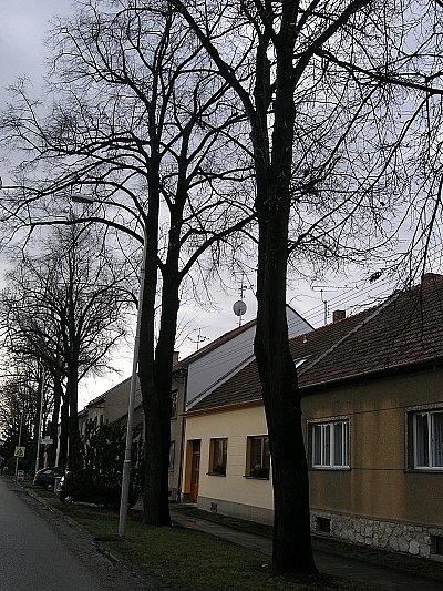 Lipové stromořadí v Tyršové ulici.