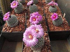Vyškovský zubař Jiří Wolf má ve své sbírce přibližně tisíc kaktusů.