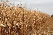 Dosavadní počasí dělá vrásky zemědělcům. Pomáhá jim jen v několika málo případech. Díky suchu dobře vyzrála kukuřice a ušetří náklady na její vysoušení.