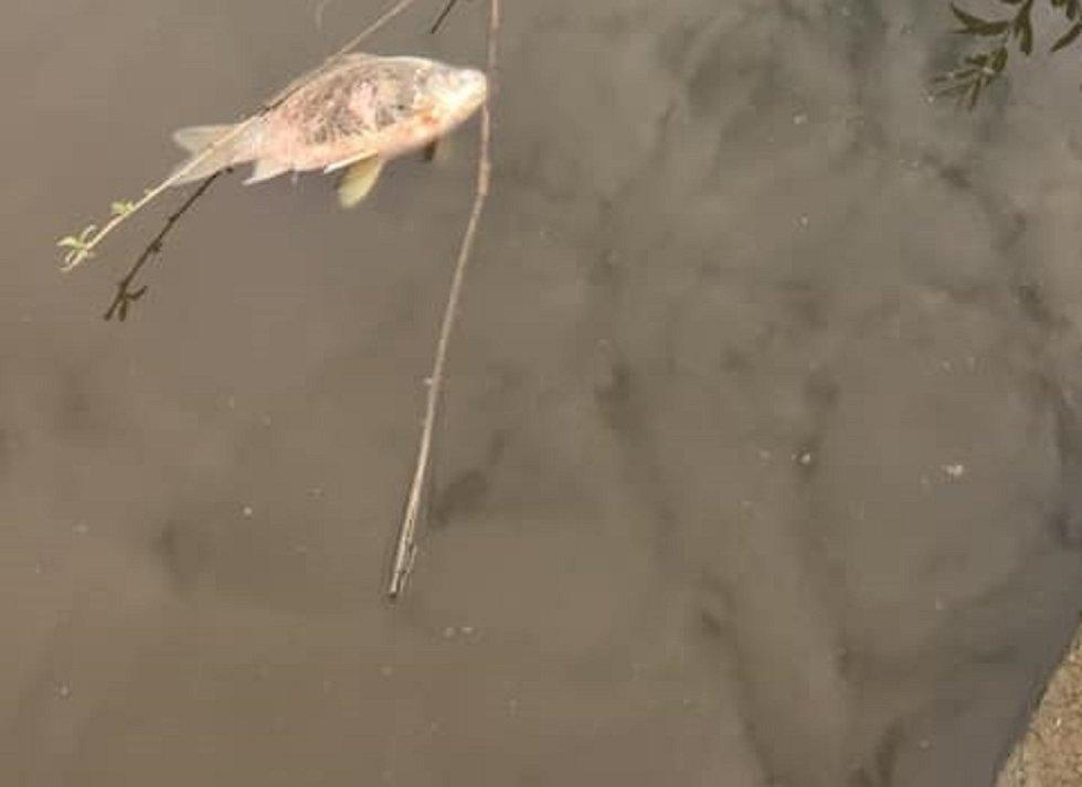 Uhynulé ryby v Kačenci.