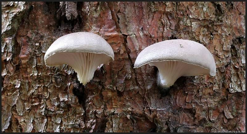 Září bylo na houby poměrně bohaté a příjemné počasí lákalo houbaře do lesů. Na snímku je hlíva borová.