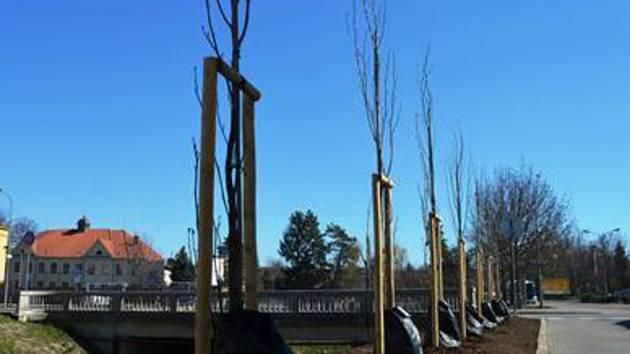 U řeky Hané vysázeli ve Vyškově osm liliovníků.