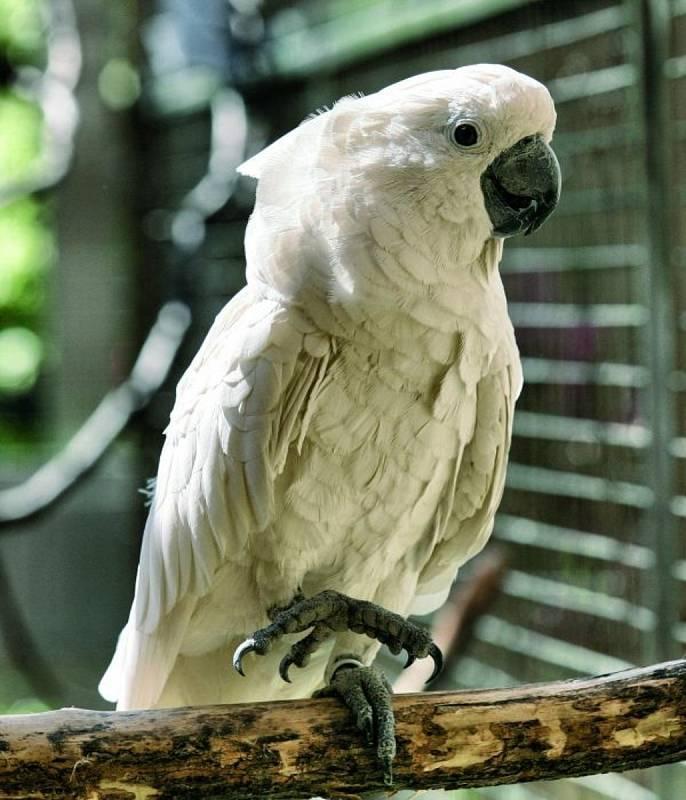 Kakadu bílý v Bošovicích.