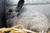 Na prodejní výstavě ve Vyškově bylo k vidění sto sedm králíků různých plemen.