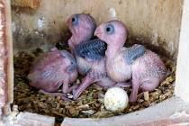 Úspěšný odchov tří mláďat papoušíčka žlutolícího.