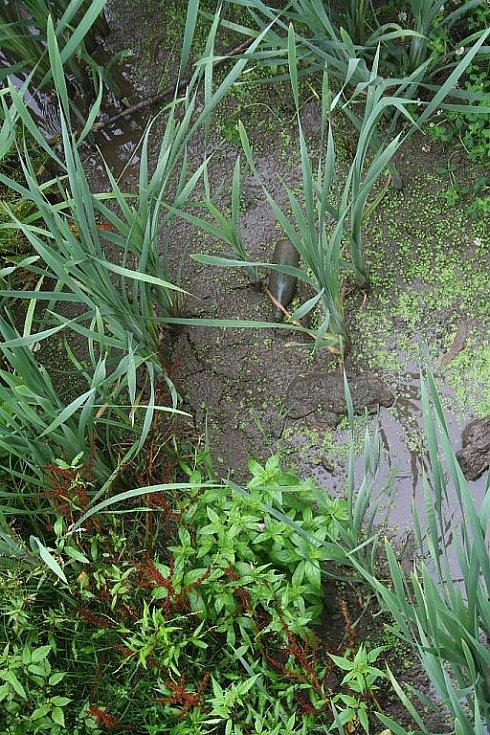 Rybník Kačenec před bagrováním.