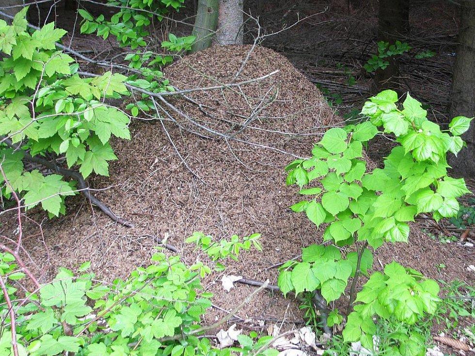 Pro lesy Litenčické pahorkatiny nad Nemochovicemi jsou typická velká mraveniště.