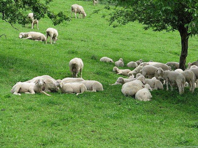 Ovce a pastevectví neodmyslitelně patří kekofarmě Jalový dvůr uHeršpic.