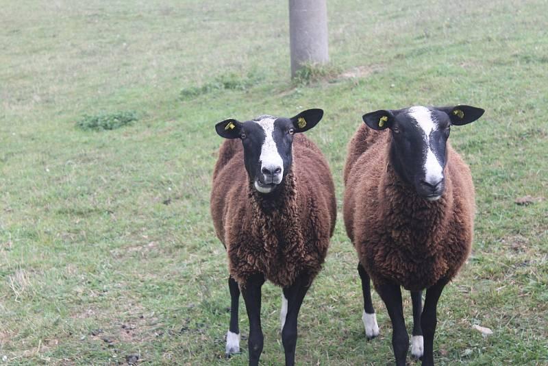 Soukromý zemědělec Jiří Krutílek chová ve vyškovských Dědicích desítky ovcí.