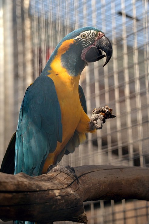 Ara kaninda. Papouščí zoo v Bošovicích na Vyškovsku, jaro 2021.