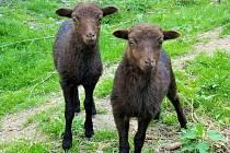Ovce ouessantská je nejmenším plemenem ovcí na světě. Zájemci ji najdou v dětské zoo.
