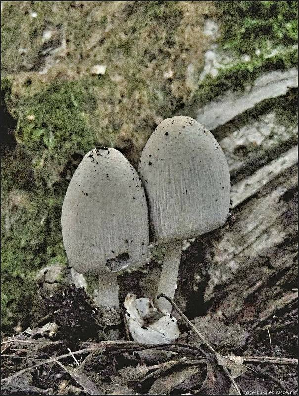 Září bylo na houby poměrně bohaté a příjemné počasí lákalo houbaře do lesů. Na snímku je hnojník.