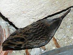 Chřástal vodní je nenápadný pták s dlouhým zahnutým zobákem, o něco menší než koroptev. Většina lidí ho nikdy neviděla, ani neuvidí.